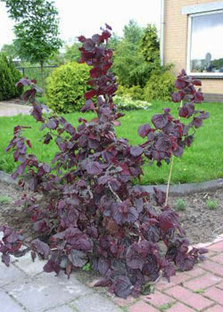 Corylus avellana 'Red Majestic